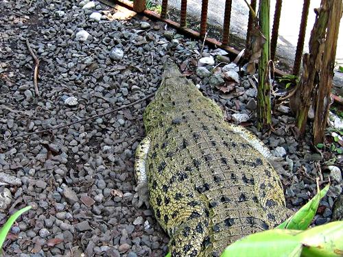 mini-zoo-crocodile