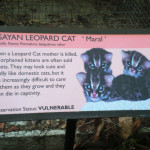 Nine Lives Are Not Enough to Save the Visayan Leopard Cat