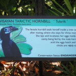 No Freedom of Flight for the Visayan Tarictic Hornbill