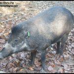 Saving the Visayan Warty Pig