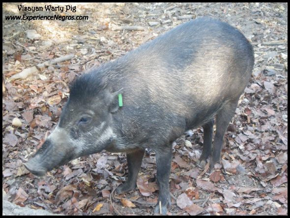 visayan warty pig, conservation, biodiversity, negros occidental
